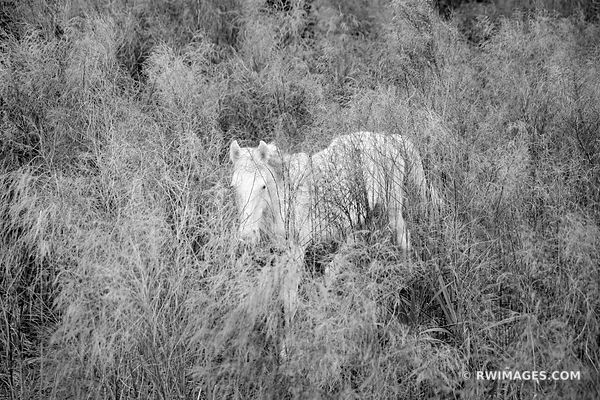 WHITE WILD HORSE CUMBERLAND ISLAND GEORGIA BLACK AND WHITE