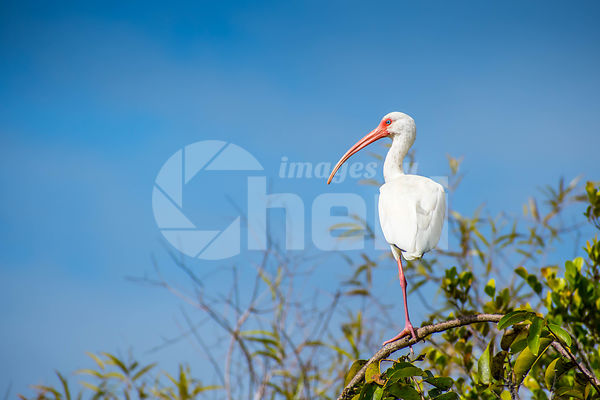 A natural white Ibis in Everglades National Park, Florida