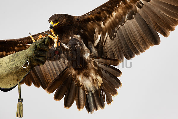 Greater Spotted Eagle (clanga clanga) Lands on a Falconer's Glove