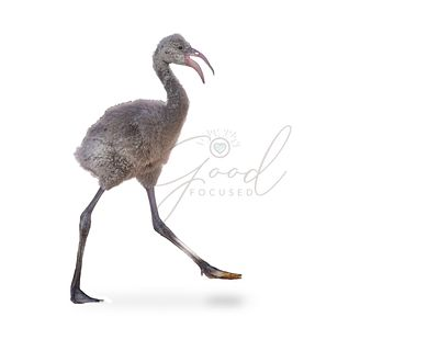 Baby Flamingo Walking Isolated