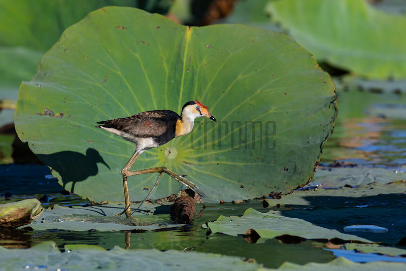 Comb-Crested Jacana Walks on Sacfred Lotus Leaves