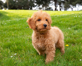 Goldendoodle Puppy Standing in Grassy Park with Watchful Expression