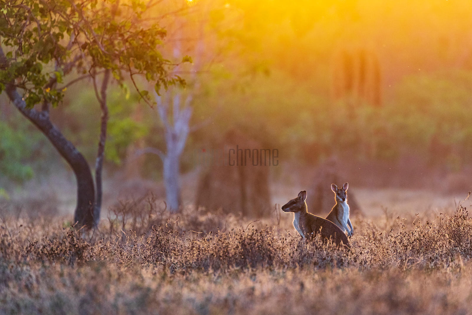 Agile Wallabies in a Field at Sunrise