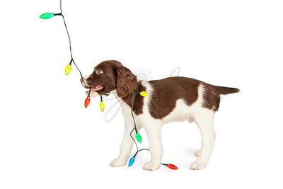 Puppy Playing With Colorful Christmas Lights