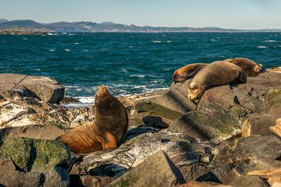 Callifornia Sea Lions, Zalophus californianus, at Race Rocks, Vancouver Island.
