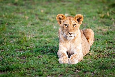 Young Lion Cub Lying in Grass