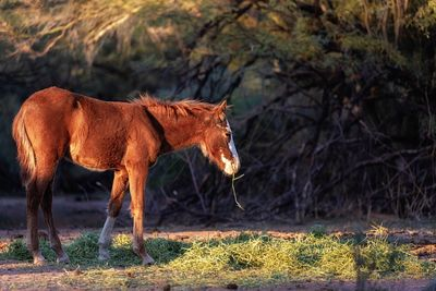 Young Horse Foal in Arizona Desert