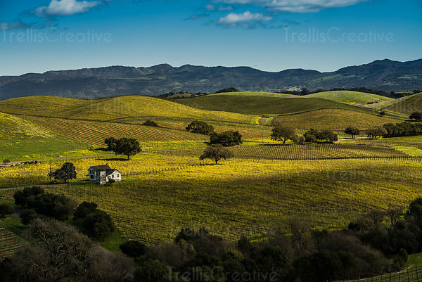 Sunlight splashes a bright highlight across a dark vineyardin Napa Valley, Napa County, California, USA.