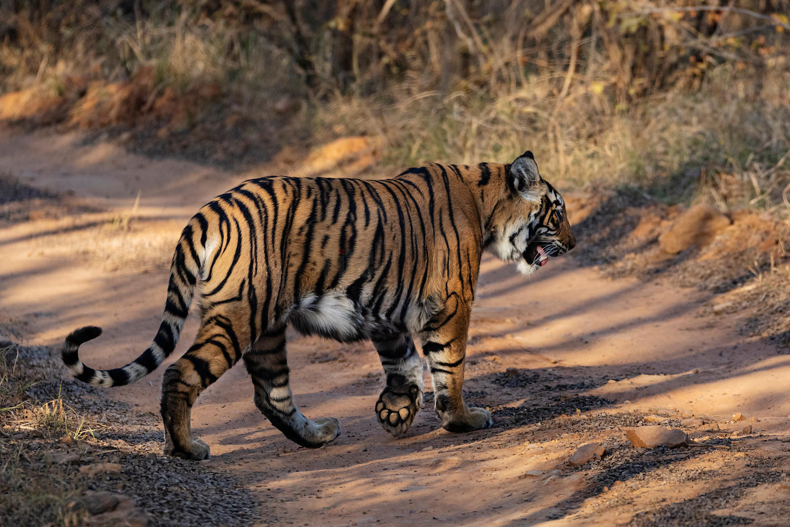 Bengal Tiger Crossing a Road in Ranthambore National Park