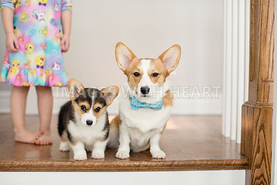 Corgis with little girl
