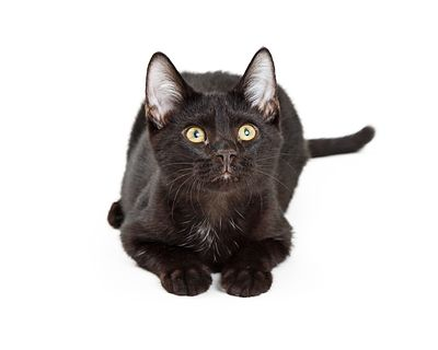 Black Kitten Lying on White Background