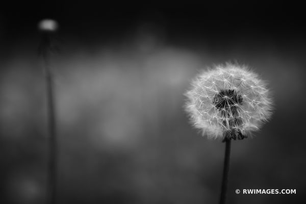 DANDELION BLACK AND WHITE BOTANICALS PRAIRIE WILDFLOWERS