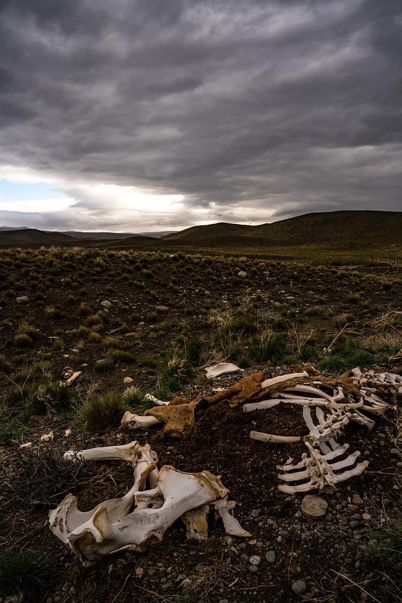 Remains of dead guanaco, El Calafate, Argentina, Patagonia, South America. Photo by Jason Tinacci