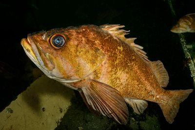 Old Copper Rockfish, Sebastes caurinus, in the hull of a wrecked sailboat.