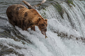 Brown Bear on Brooks Falls catching Salmon swimming upstream, Alaska, USA