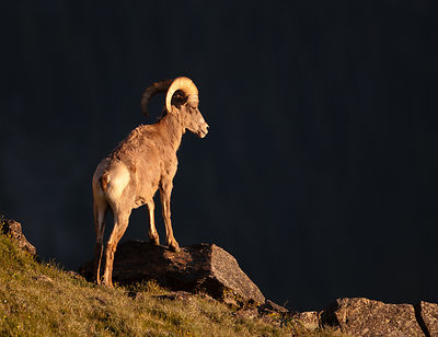 Bighorn Sheep at the Precipice