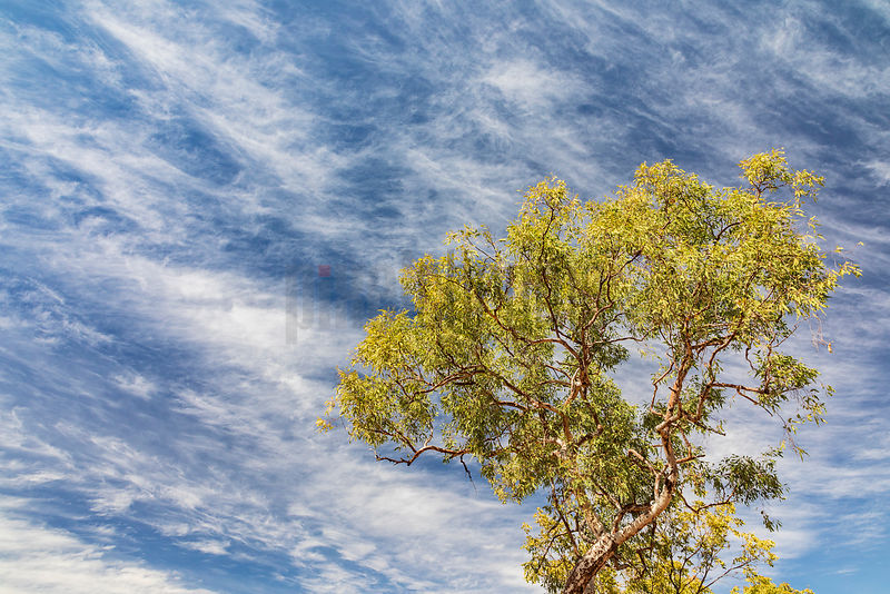 Ironwood Tree against Cirrus Clouds