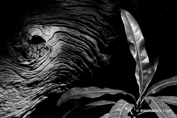 TREE BARK BOTANICALS NATURE GUMBO LIMBO TRAIL EVERGLADES FLORIDA BLACK AND WHITE