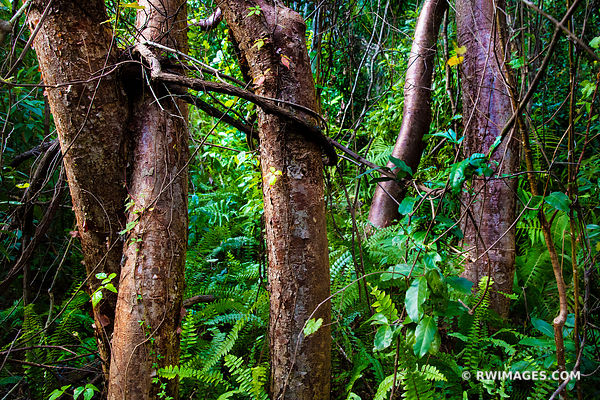 GUMBO LIMBO TREE NATURE ABSTRACT GUMBO LIMBO TRAIL EVERGLADES FLORIDA