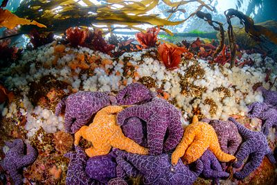 Cluster of Purple Ochre Stars, near the surface in Browning Pass.