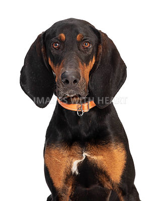 Closeup Black and Tan Coonhound Dog