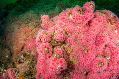 Carpets of Strawberry Anemone in Tahsis Inlet.
