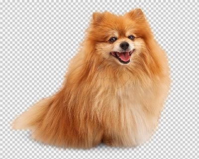 Happy Smiling Pomeranian Dog Sitting Looking Forward