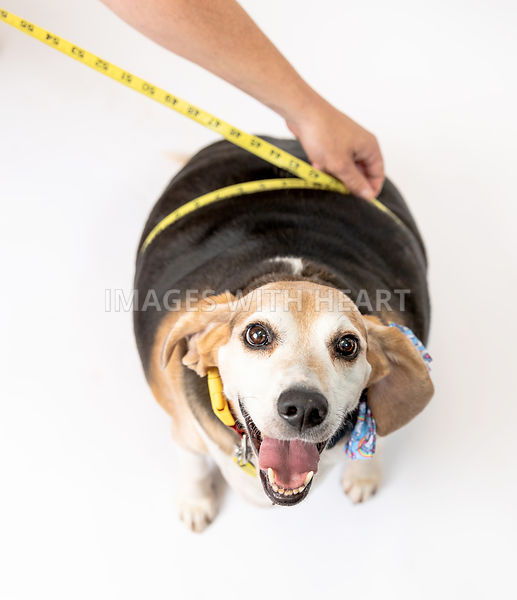 Happy Obese Beagle Being Measured Around Waist