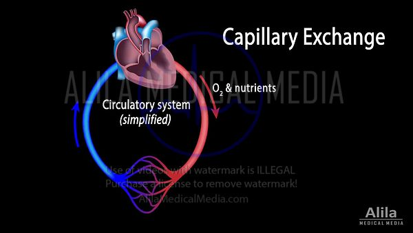 Capillary exchange and edema NARRATED animation