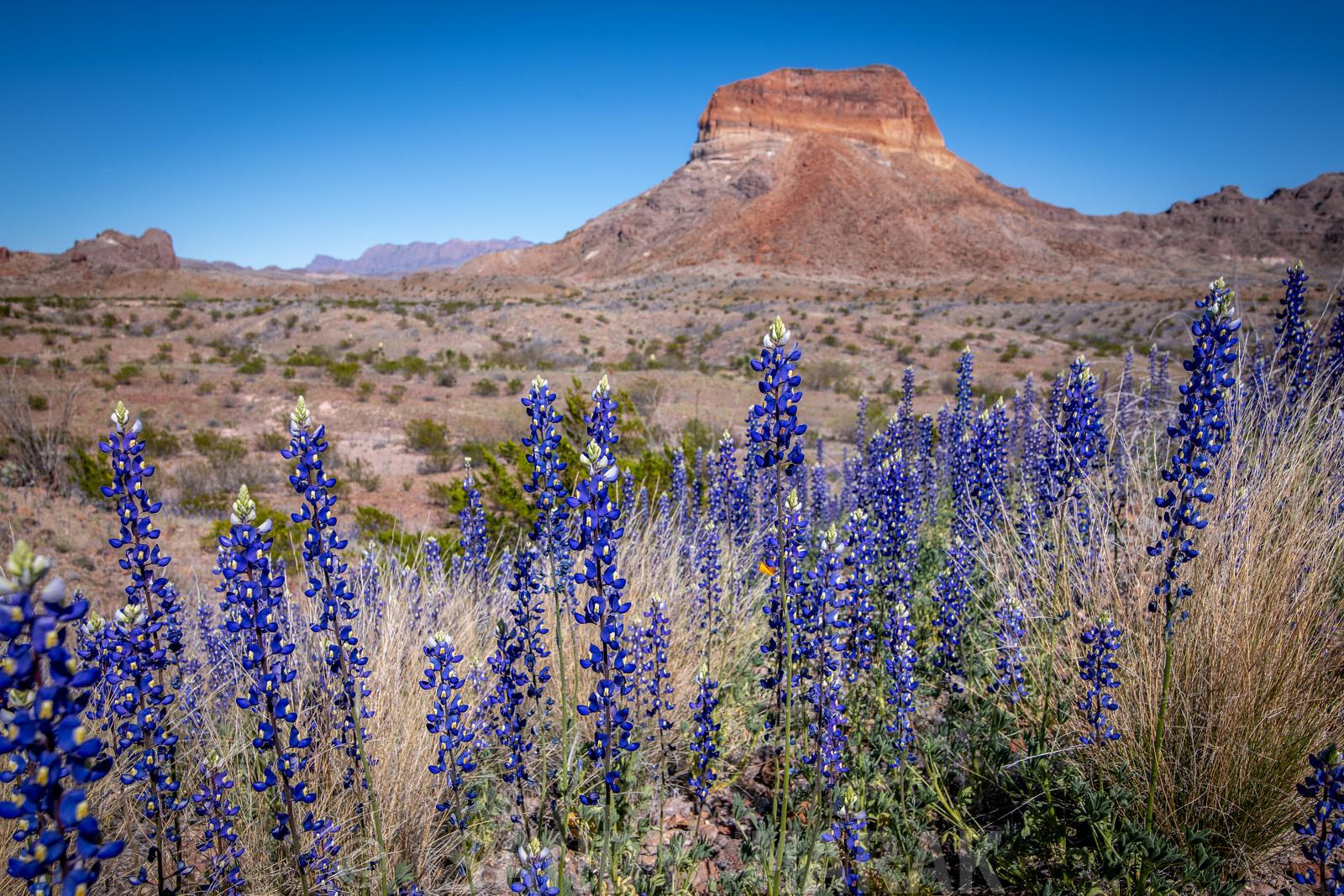 Bluebonnets at Big Bend