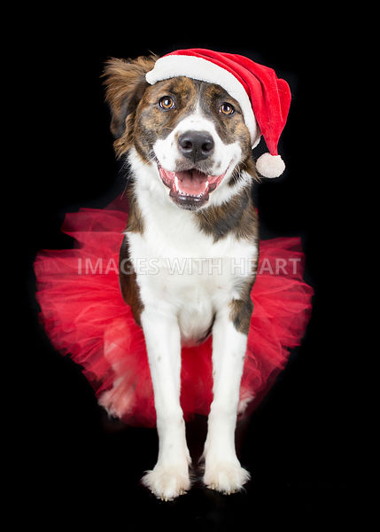 Australian Shepherd mix wearing tutu and santa hat