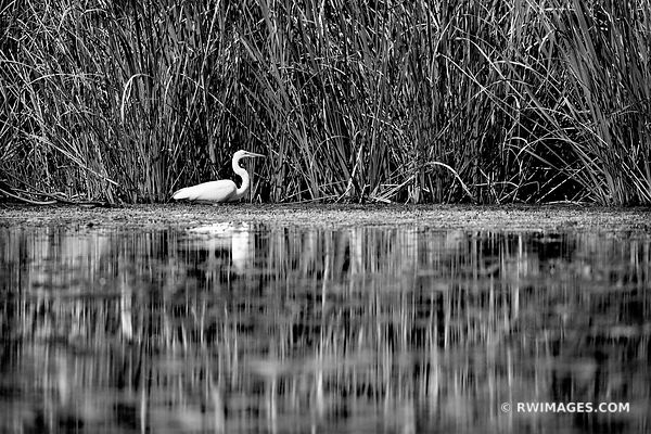 WHITE EGRET TURNER RIVER BIG CYPRESS NATIONAL PRESERVE EVERGLADES FLORIDA BLACK AND WHITE