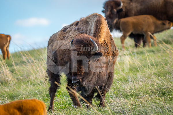 American Bison and its calf in the field of Custer State Park, South Dakota