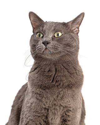 Grey Shorthair Cat Looking Side Closeup