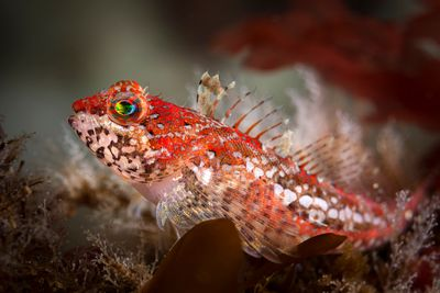 Striking colour and patterns on a Scalyhead Sculpin, Artedius harringtoni.