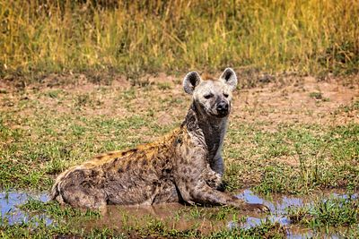 Hyena Cooling off in the Mud