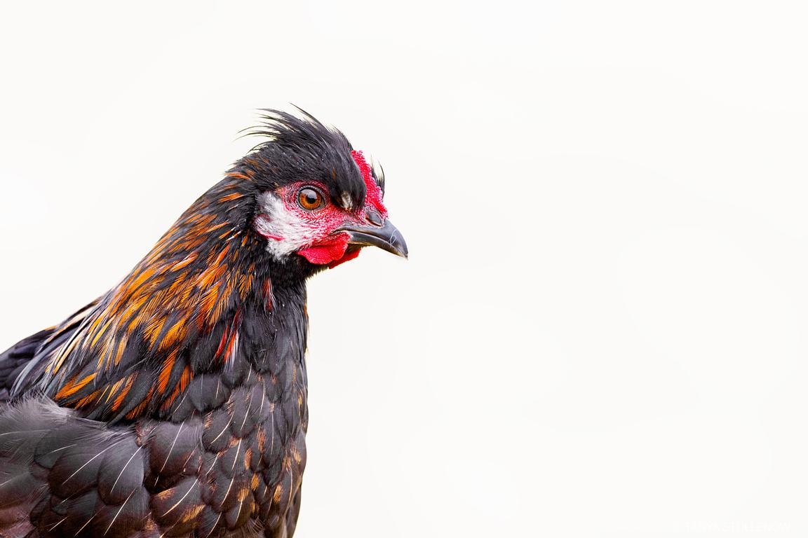 Feral chicken, Norfolk Island