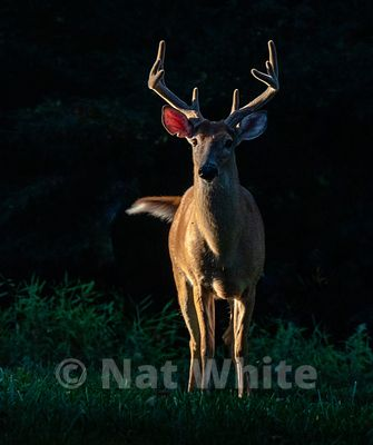 side_lit_Deer_Buck-ear_notch--Filename_number_suffix-_1August_11_2019_NAT_WHITE