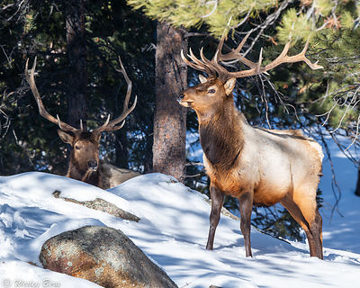 Two Large Bull Elk in the Snow