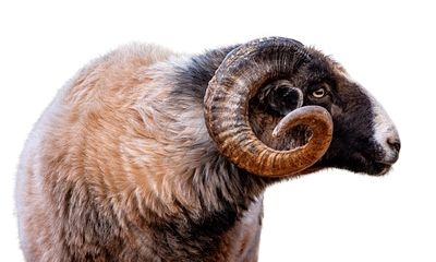 Navajo-Churro Sheep Closeup Side Isolated