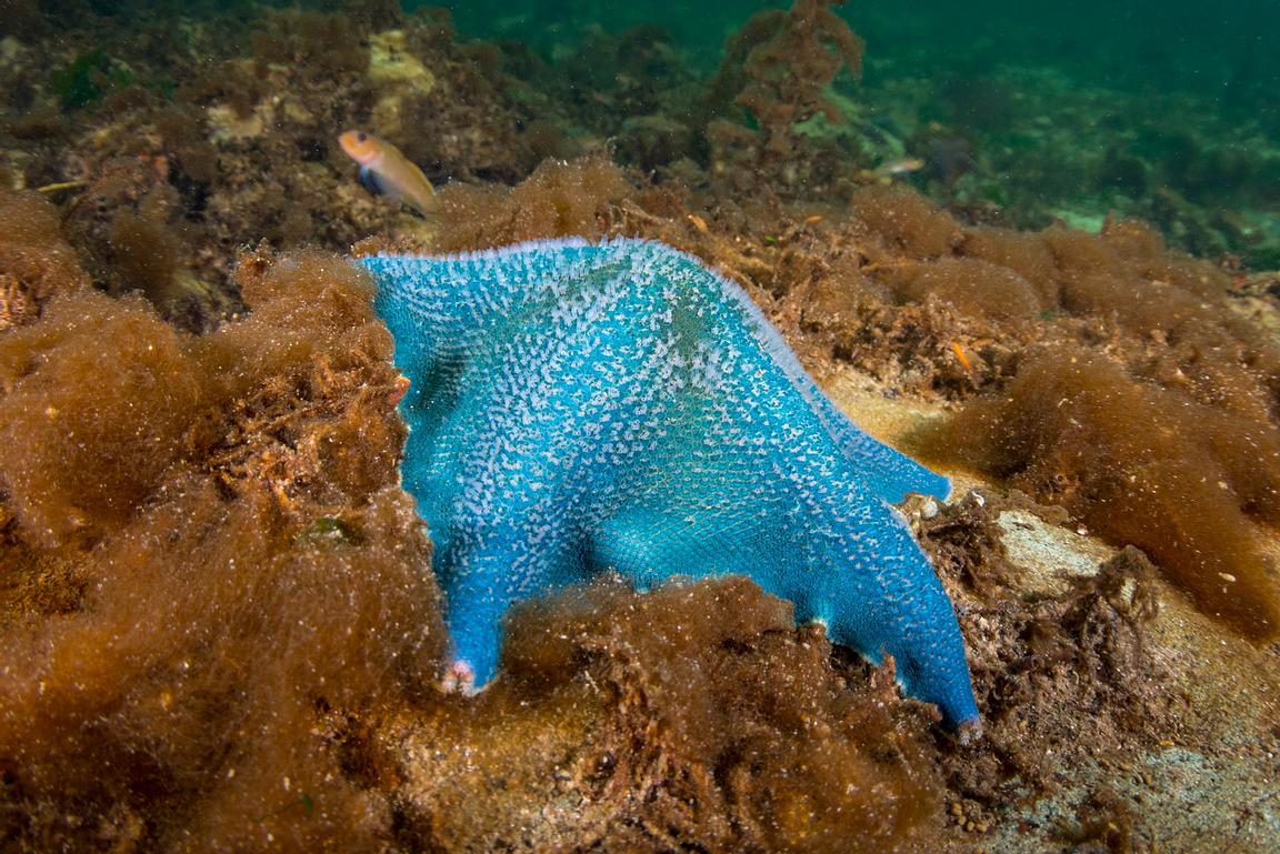 Bright Blue Bat Star.
