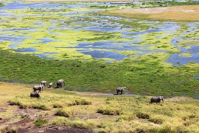 Elephants in Swamp of Amboeli Kenya