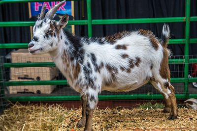 A white and black spotted goat in Phoenix, Arizona