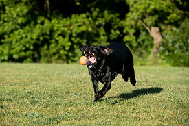 Running Black Dog About to Catch Ball
