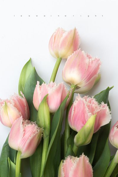 fringed tulips on white