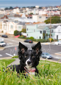 Close-up of Border Collie with Funny Expression Lying on Hill