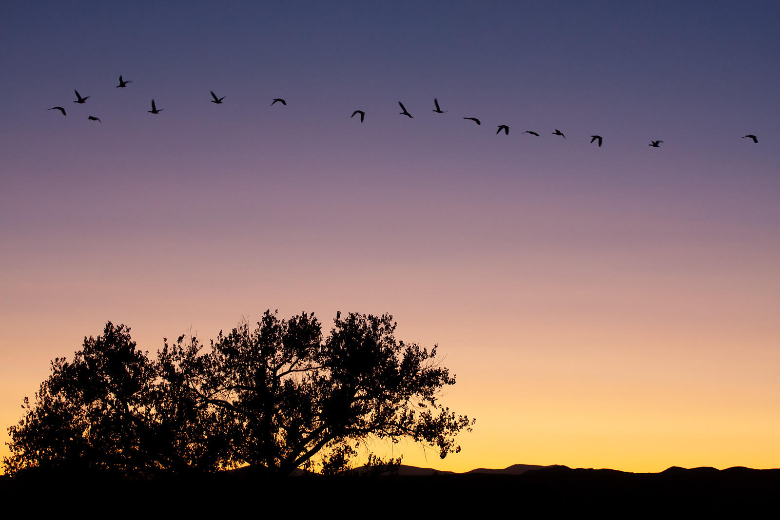 Cottonwood And Snow Geese, Dusk