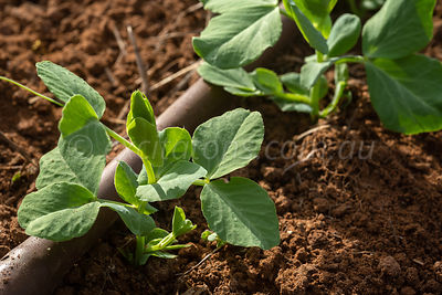 Snowpea seedlings .