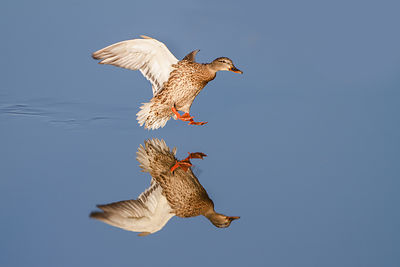 A Mallard (Anas platyrhynchos) hen prepares to land on a mirror-still pond. Broomfield, Colorado.