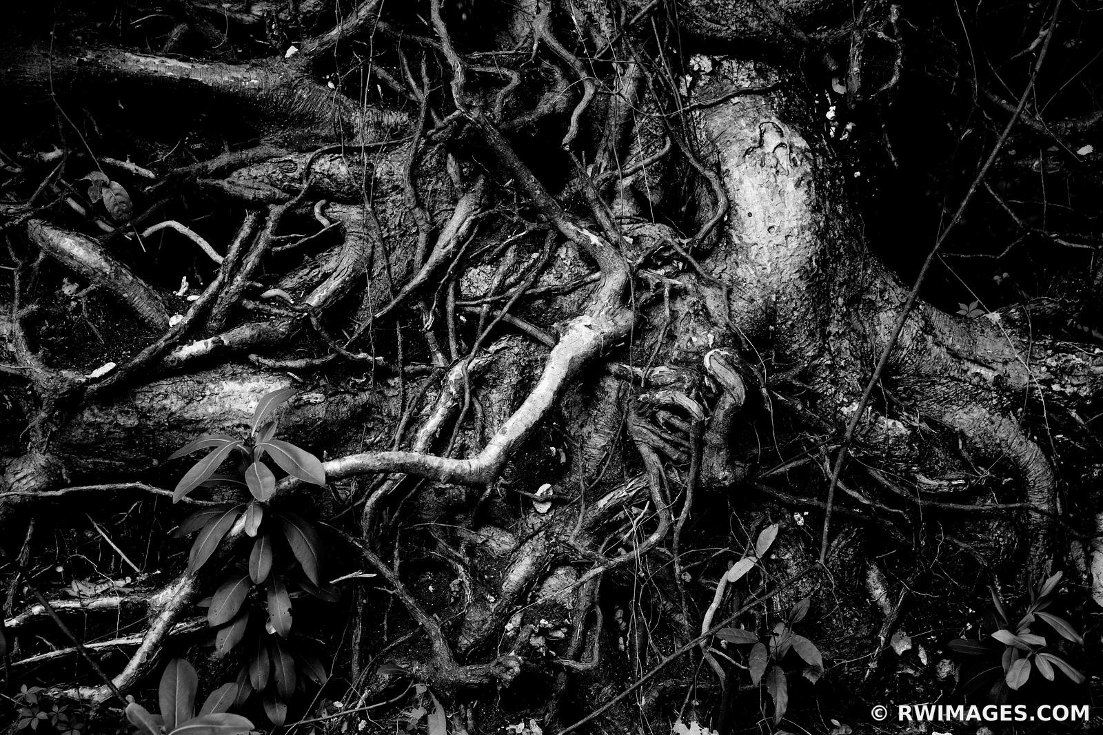 TREE ROOTS NATURE ABSTRACT GUMBO LIMBO TRAIL EVERGLADES FLORIDA BLACK AND WHITE